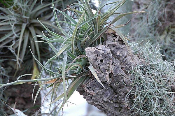 Cómo cuidar de las plantas epifitas