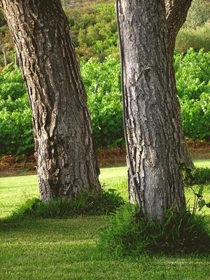 Plantar hierbas bajos los pinos