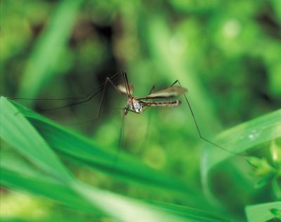 Plantas anti-mosquitos
