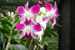 Información sobre el crecimiento de la Orquídea