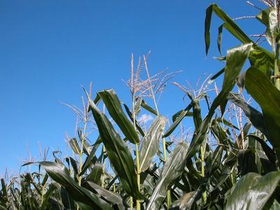 Las etapas del cultivo de maíz dulce