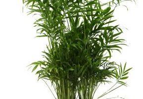 Cómo cuidar las plantas de bambú
