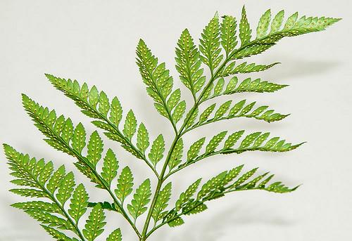 Plantas sin flores iorigen for Hojas ornamentales