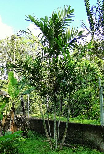 Palma bambú (Raphis excelsa) 1