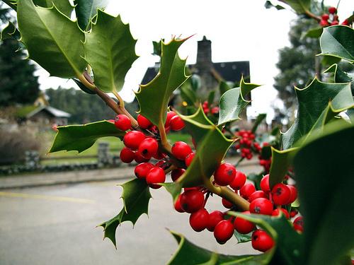 Cuidados del muerdago iorigen - Cuidados planta navidad ...