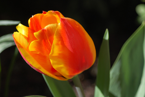 Tulipán naranja y hojas verde carnosas