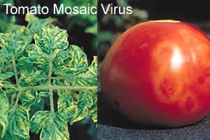 Resultado de imagen para virus plantas