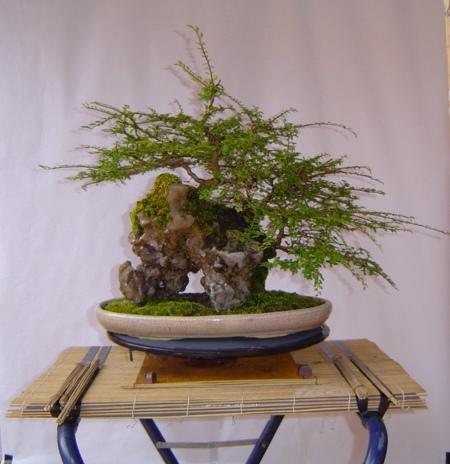 Como cultivar un bons i sobre una piedra iorigen for Como cultivar bonsais