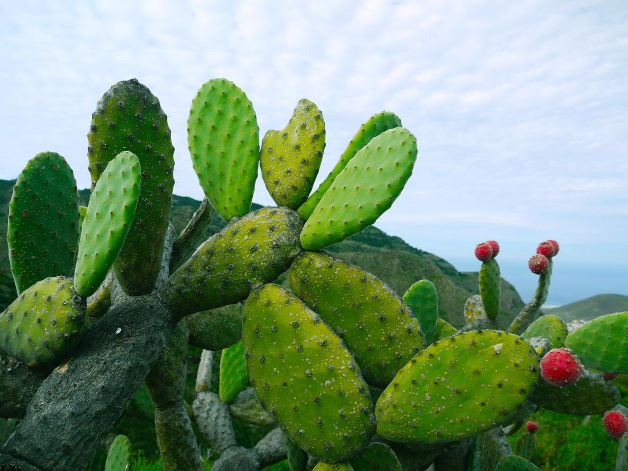 Cactus chumberas o paleta
