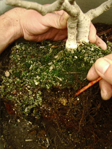 Cultivo y cuidados del bons i iorigen - Cultivo del bonsai ...