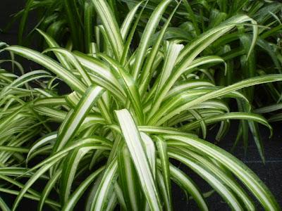 Plantas para el sal n sombr o con temperatura baja y poca - Plantas para el salon ...