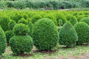 Algunos arbustos son mejores que un árbol 9