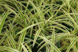 Plantas colgantes 6
