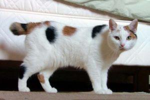 Razas de gatos: rabón japonés 5