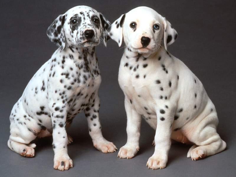 Cachorros de dálmatas