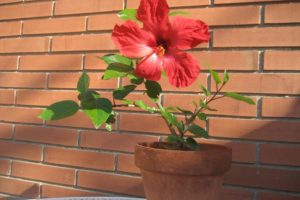 Cómo plantar hibiscus a partir de esquejes