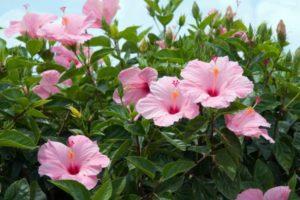 ¿Cómo se realiza la poda del hibiscus?