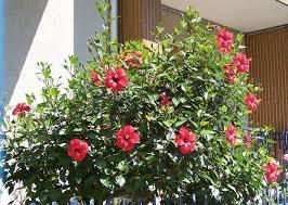 como es Hibiscus Rosa Sinensis
