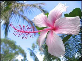 poda del hibiscus