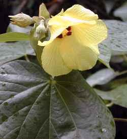 flor Hibiscus Tiliaceus