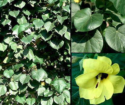 Conoce el hibiscus tiliaceus iorigen for Hibiscus arbol