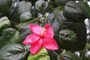 "Conoce el ""hibiscus elatus"""