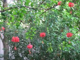 "Conoce el ""hibiscus schizopetalus"""