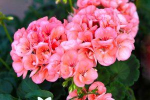 geranium-tipo
