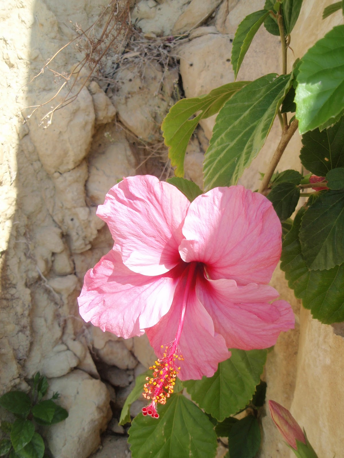 Conoce la belleza del hibiscus sinensis