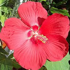 hibiscus coccineus características
