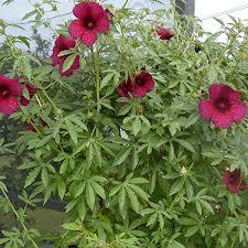 caracterísitcas hibiscus cannabinus