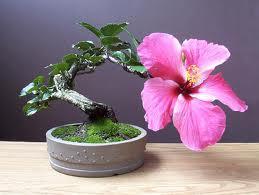¿Cómo son los hibiscus bonsai?