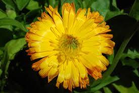 Beneficios de las flores de Bach