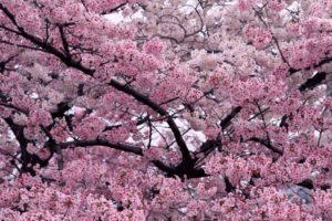 Descubre la magia de los cerezos en flor