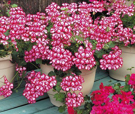 flor geranios hiedra