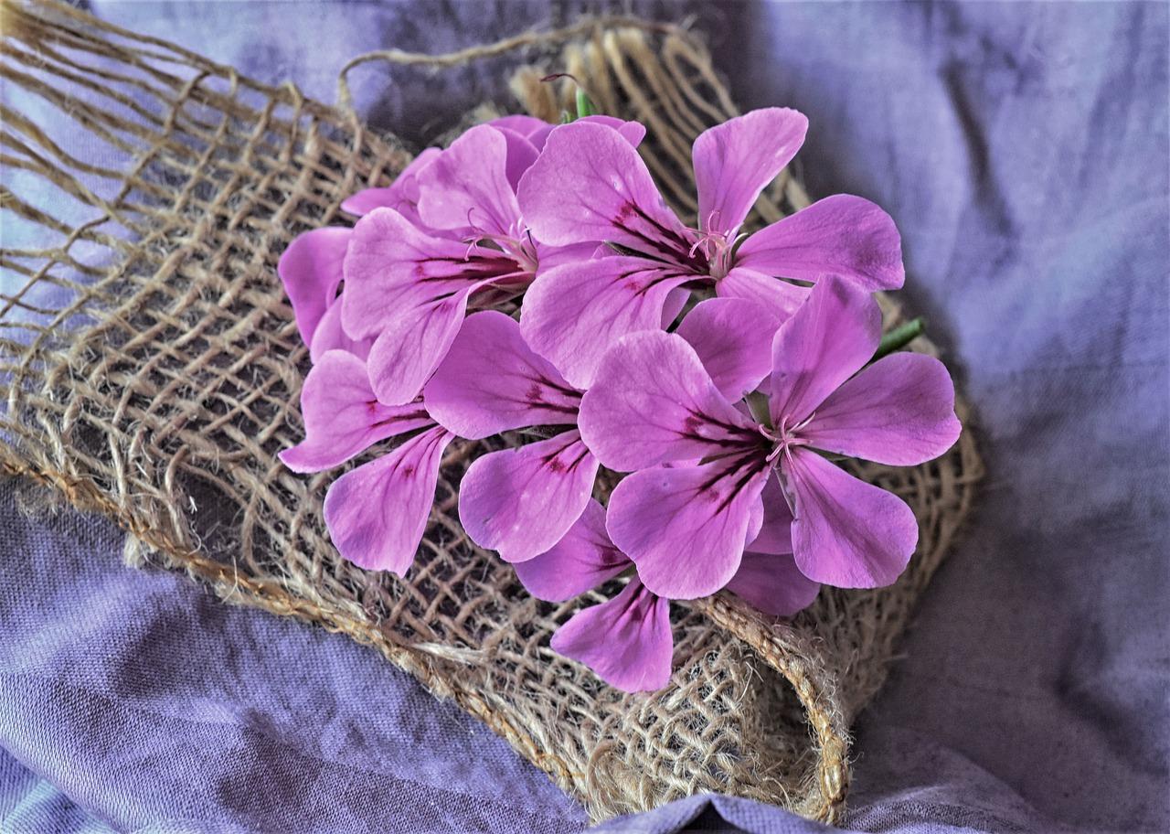 geranio lila