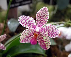 Cómo evitar las enfermedades de orquídeas