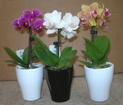 ¿Cómo se cuidan las mini orquídeas?