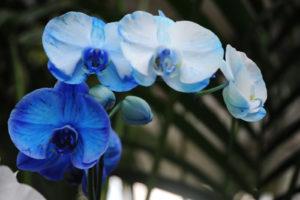 Conoce los cuidados de las orquídeas azules