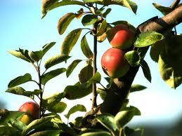 Cómo podar árboles frutales