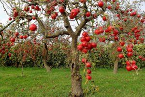 Cómo podar árboles frutales 1