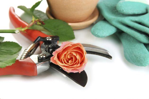 podar los rosales sin dañarlos