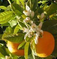 Cómo cultivar naranjos