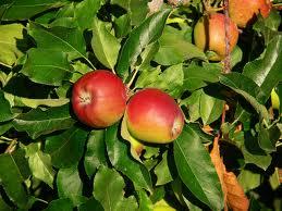 Árboles frutales: Cómo hacer que los frutos sean provechosos