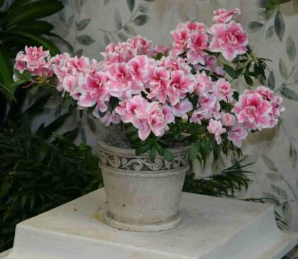 azaleas y rododendros, ¿cuál es la diferencia? - iorigen