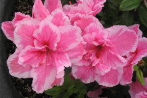 Azaleas y rododendros, ¿Cuál es la diferencia? 3