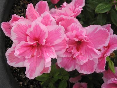 Azaleas y rododendros, ¿Cuál es la diferencia? 1