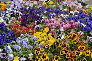 Flores-del-Pensamiento