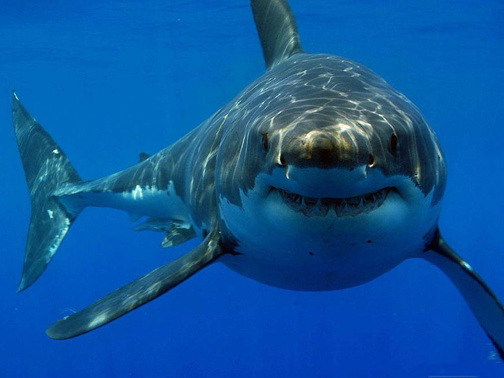 dibuja un tiburon