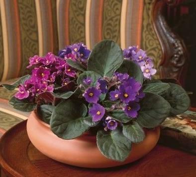 Conoce un poco más sobre las violetas africanas 1
